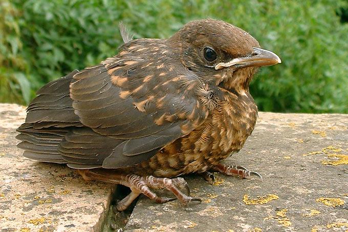 Amselküken, Foto von Walter Wimmer auf nabu.de (Birdlife International)