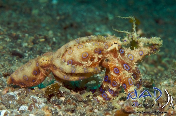 Blueringed-Mating-Lembeh
