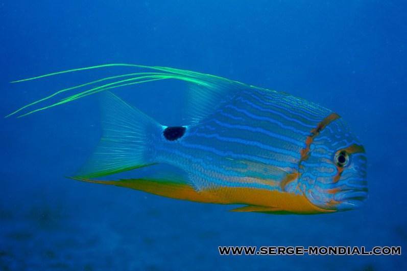 Juvenile Sailfin Snapper