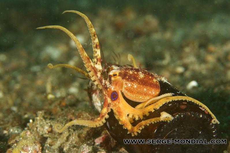 Mototi-Octopus-lembeh