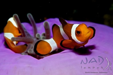 False Clown Anemone Fish in Lembeh