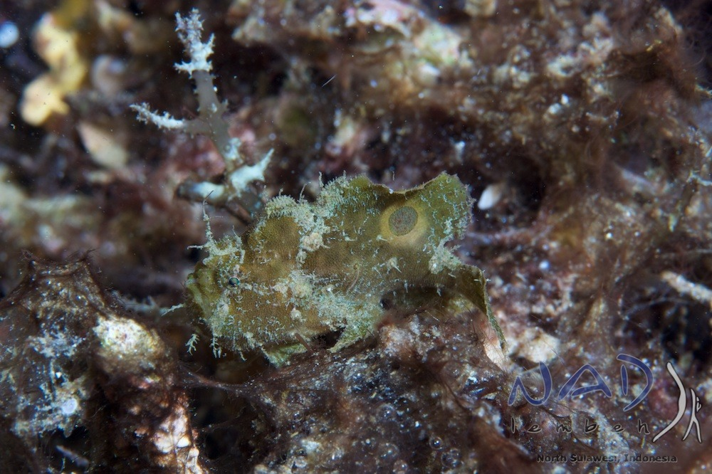 Spotfin Frogfish in Lembeh