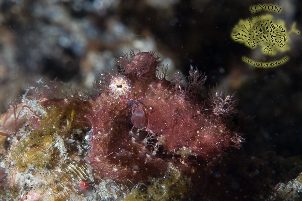 Hairy Octopus in Lembeh