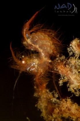 Hairy Shrimp with Eggs