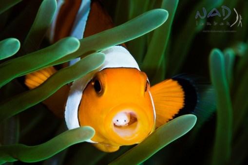 False Clownfish in Lembeh, with parasite, Cymothea