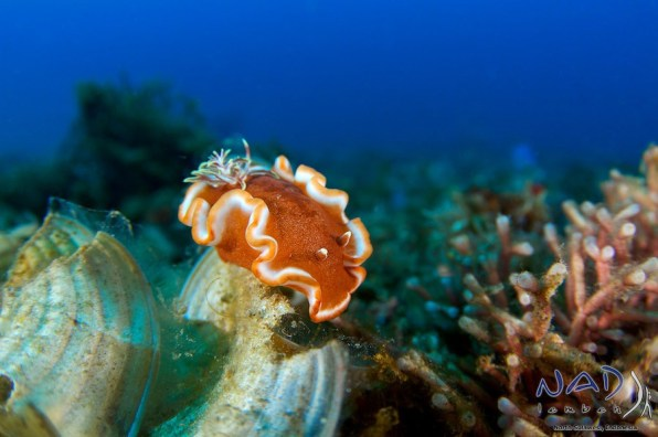 Glossodoris on Algae