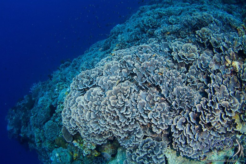 Healthy Hardcoral Fields