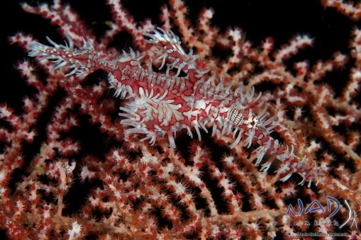 Ornate Ghostpipefish hiding in a fan at the exit of the cave