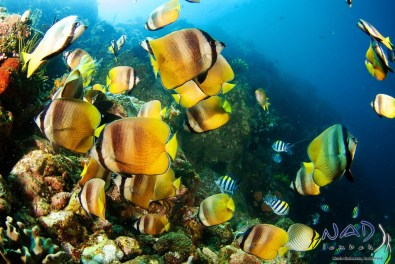 Butterfly fish feeding on eggs in the shallows of the northern pinnacle side