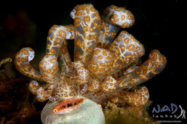 Solar Powered Nudibranch: On the Coral Slope