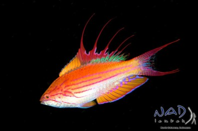 Flasher Wrasses swim up into the Water Column to display –a good Opportunity for Black Backgrounds