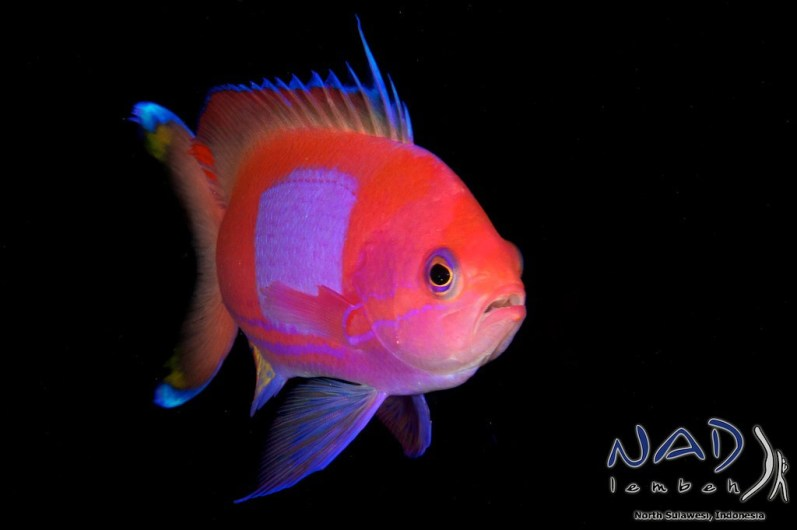 Anthias are free swimming and their colours are striking on black.
