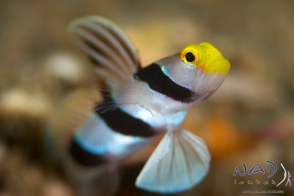 Yellow Nose Shrimp Goby