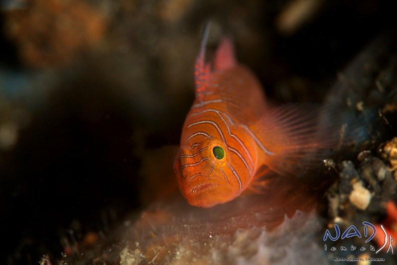 Gobies of Lembeh4