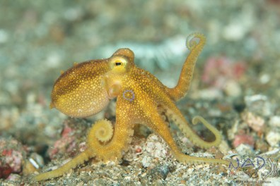 This Mototi Ocotpus is slighlty too big for the SIGMA 150mm … at least in Lembeh Waters … the pictures are flat in colour