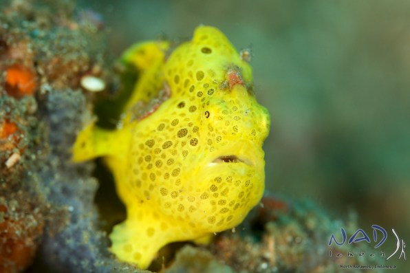 """""""Normal"""" Macro Subjects also work well if they are not too big –like this 5 cm Frogfish."""