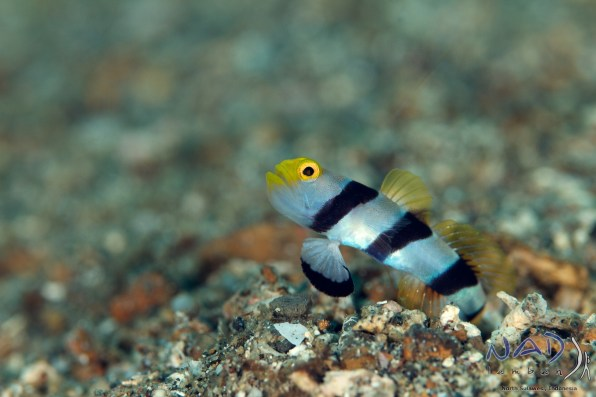 The lens is ideal to sneak up on shy Gobies