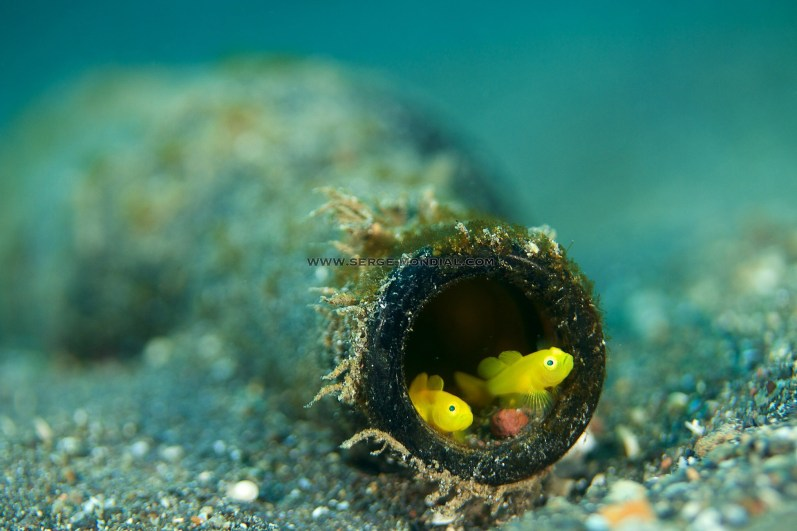 Gobies in Bottle