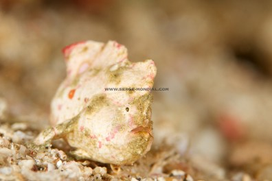 White Pink Randalls Frogfish – a new colour to me
