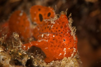 Multi Ocellated Frogfish