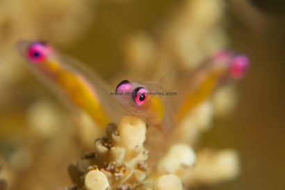 Pink Eyed Gobies in formation