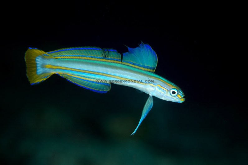 Lined Dartfish – a very cool deep water critter