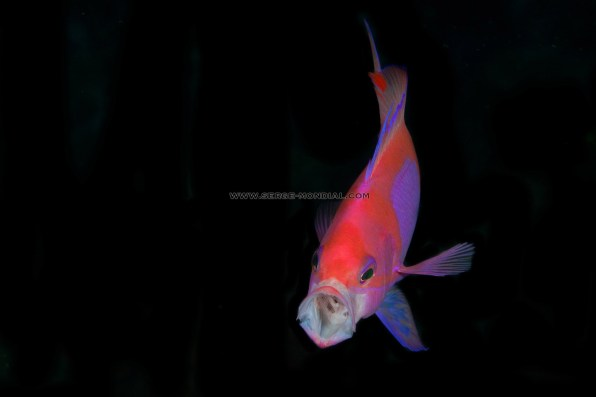 Anthias yawning
