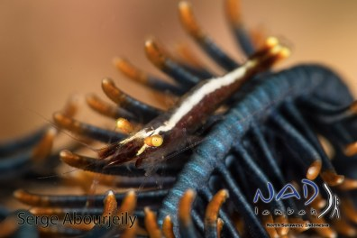 Shrimps can be found in almost every Crinoid in Lembeh