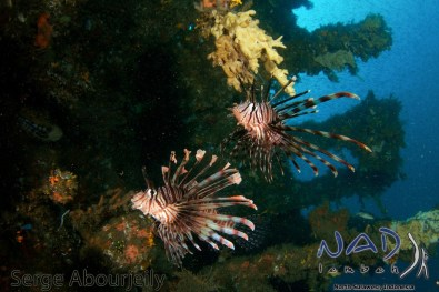 The pair of Lionfish makes the Image stronger