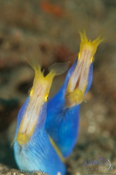 A couple of male Ribbon Eels