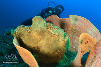 Frogfish with diver