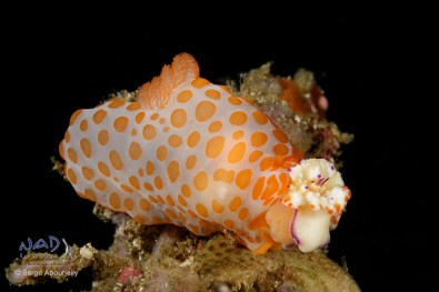 Gymnodoris feeds on Mexichromis Nudibranchs