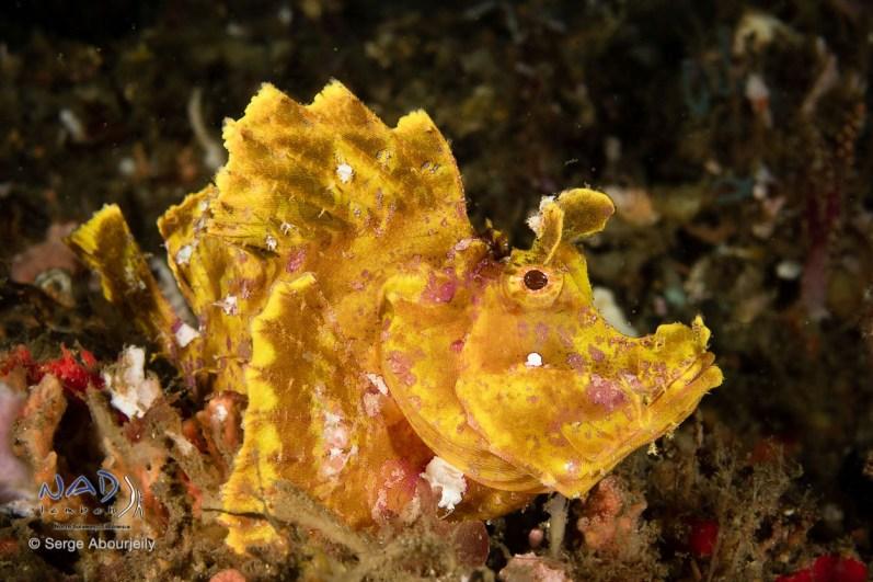 Paddleflap Rhinopias (Rhinopias eschmeyri) / Lembeh Strait