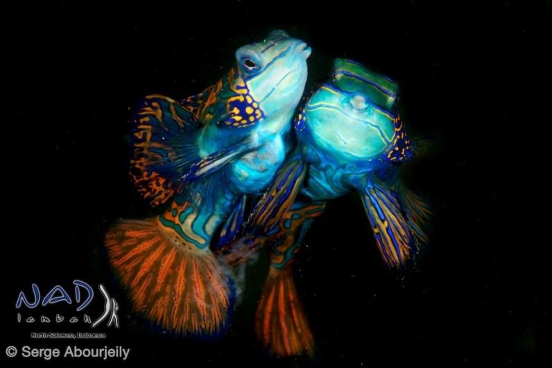 Mating Mandarinfish / Lembeh Strait