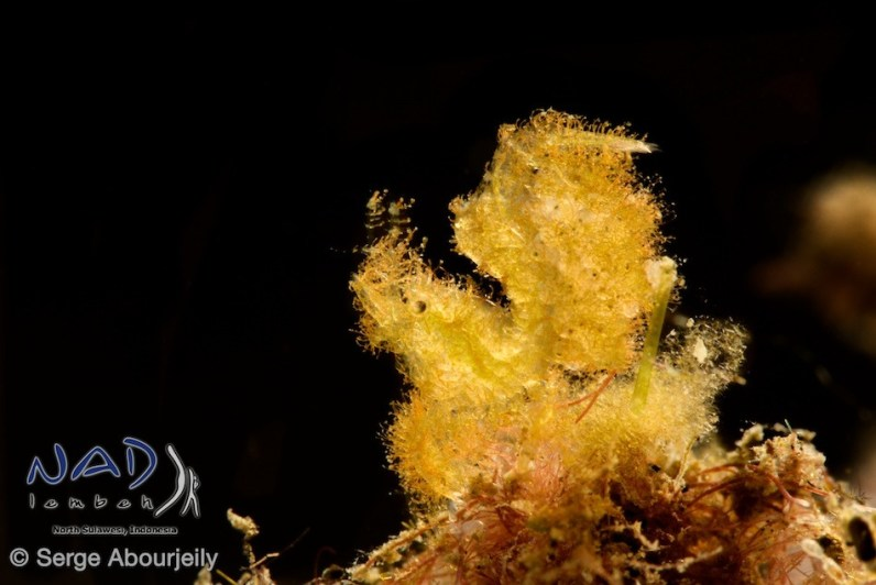 Hairy Shrimp with eggs / Lembeh Strait
