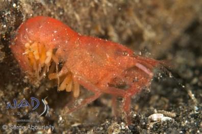 Shrimp with eggs / Lembeh Strait