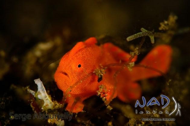 Baby Frogfish / Lembeh Night Dives