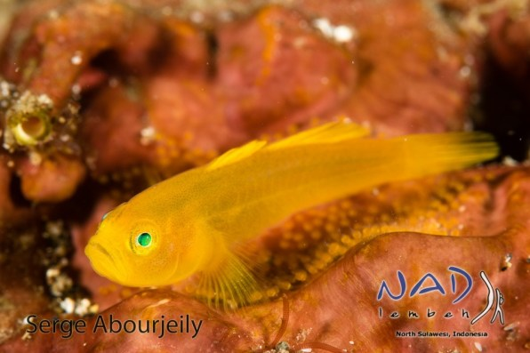 Yelow Pygmy Goby with eggs / Lembeh Strait