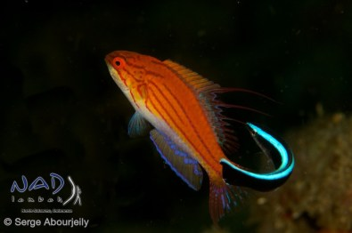 Cleaning Station / Lembeh Strait