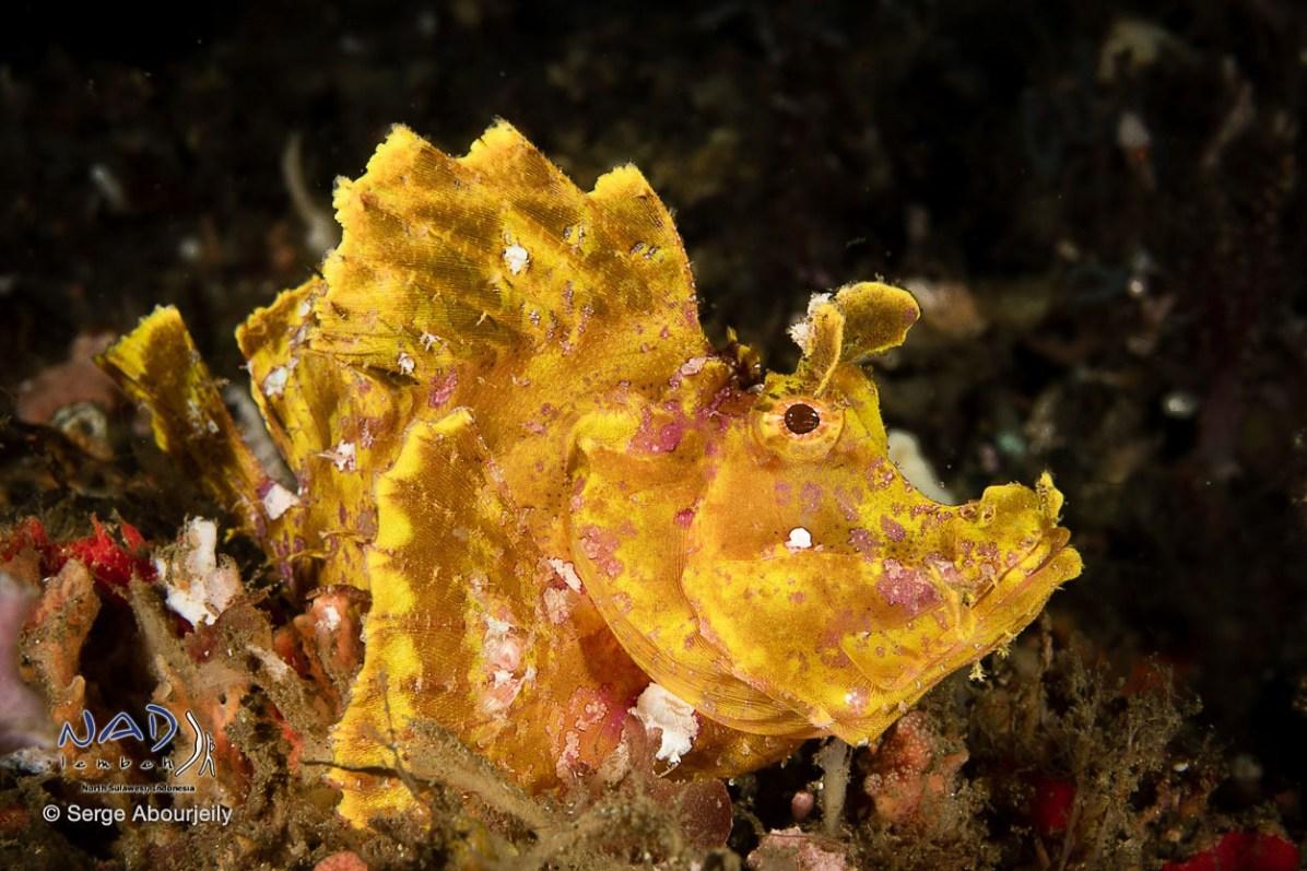 Paddleflap Rhinopias
