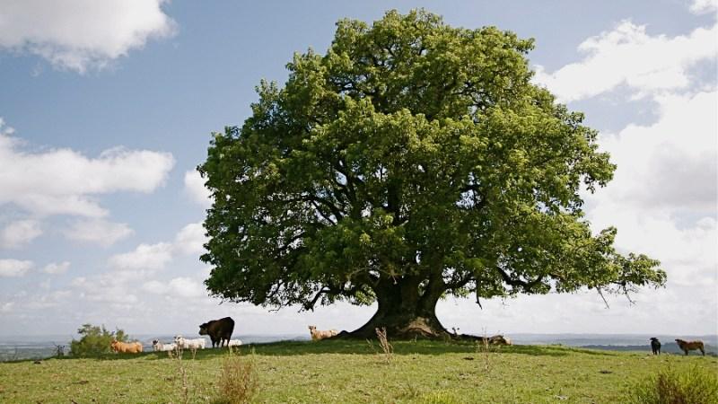umbu tree, brazil