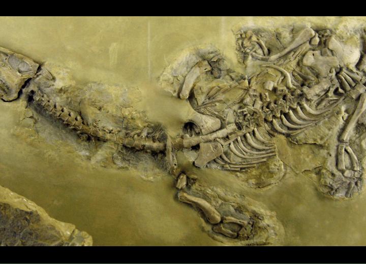 Nothosaurus, tilly edinger