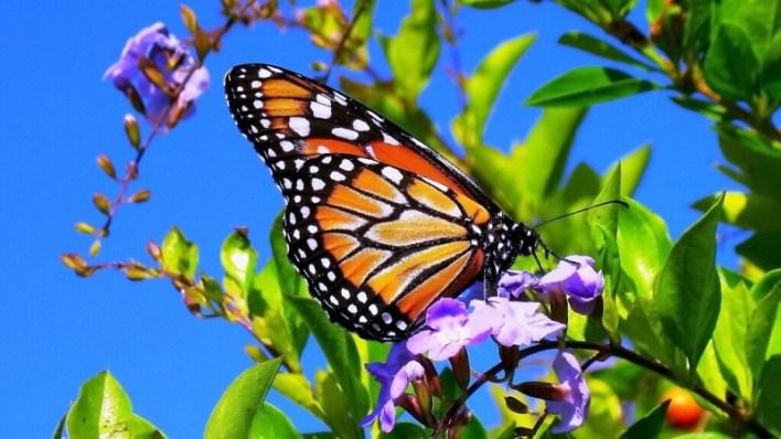 الحشرات الفراشات