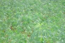الذّهب الأخضر.. من مَشْرُوع الزّراعات البدِيلة إلى تقْنين القنَّب الهنْدِي
