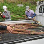 七二会地区で竹取り体験