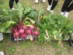 元気野菜 プチ収穫202012