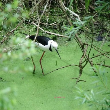 Healesville Sanctuary - A bird with long legs in water
