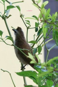 Views I saw in April/May 2014 In Singapore - Another Side view of the Birdie