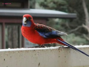 Puffing Billy - Crimson Rosella