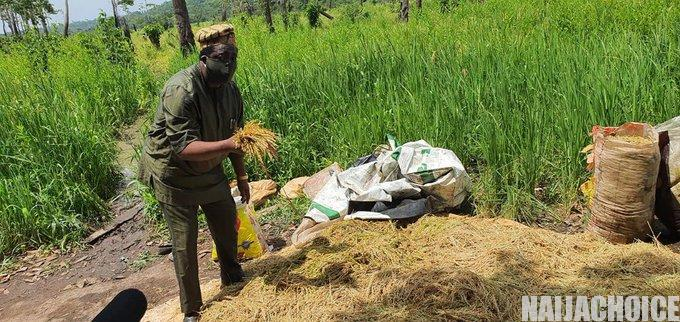 Ogun State Begins Dry Season Harvest In Youth Rice Production Project (Photos)